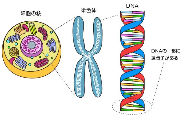 遺伝について | MD Clinical Sta...