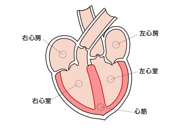 正常な心臓の構造
