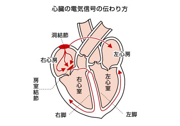 心臓の電気信号の伝わり方