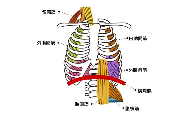 肺の周囲の筋肉